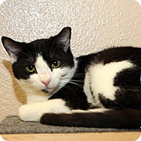 Adopt A Pet :: Cuddles - Gilbert, AZ