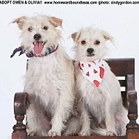 Adopt A Pet :: Olivia - McKinney, TX