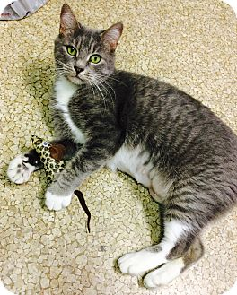 Domestic Shorthair Cat for adoption in Chattanooga, Tennessee - Jade
