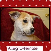 Adopt A Pet :: Allegra (POM) - Plainfield, CT