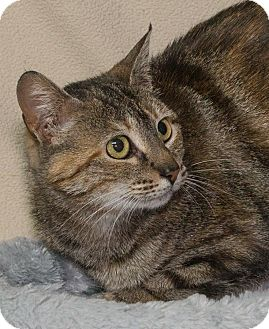 Domestic Shorthair Cat for adoption in Elmwood Park, New Jersey - Holly
