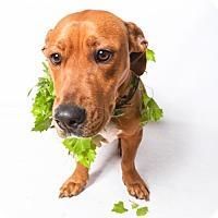 Adopt A Pet :: Reese - Little Rock, AR