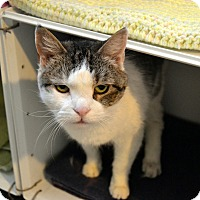Domestic Shorthair Cat for adoption in Broadway, New Jersey - Ava