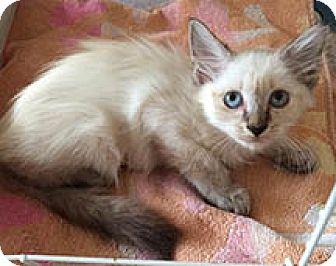Siamese Kitten for adoption in Metairie, Louisiana - Suki