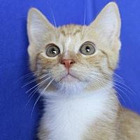 Domestic Longhair Kitten for adoption in Winston-Salem, North Carolina - Josh