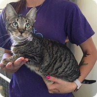Domestic Shorthair Cat for adoption in Oakdale, California - Nala