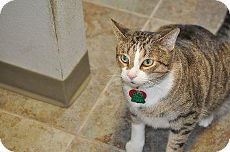 Domestic Shorthair Cat for adoption in Orlando, Florida - Mooch