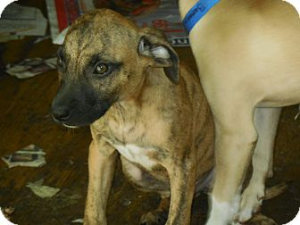Hound (Unknown Type) Mix Puppy for adoption in Old Town, Florida - Tiger
