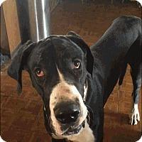 Adopt A Pet :: Bogie - Reno, NV