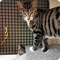 Domestic Shorthair Kitten for adoption in Little Falls, New Jersey - Nicole (CV)