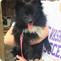 Adopt A Pet :: Peppen - Kirkland, WA