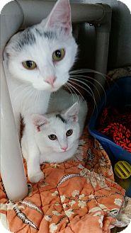 Domestic Shorthair Cat for adoption in Chippewa Falls, Wisconsin - Jillian