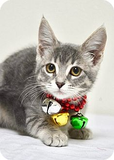 Domestic Shorthair Kitten for adoption in Dublin, California - Nicki