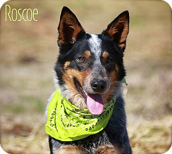 Australian Cattle Dog Dog for adoption in Wilmington, Delaware - Roscoe