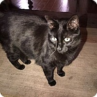 Adopt A Pet :: Karen's cat - Chandler, AZ