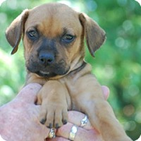 Adopt A Pet :: Shenia - Providence, RI