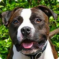 Adopt A Pet :: Handsome Rogan-GREAT DOG - Los Angeles, CA