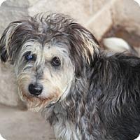 Adopt A Pet :: Hobbit - Norwalk, CT