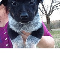 Adopt A Pet :: BlueHeelers - E. Greenwhich, RI