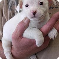 Adopt A Pet :: DOTTIE'S PUPS A - Corona, CA