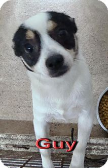 Papillon Mix Dog for adoption in Coleman, Texas - Guy