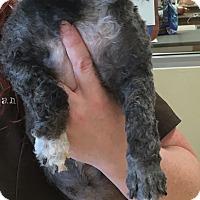 Adopt A Pet :: Sophie (RBF) - Windham, NH