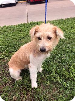 Poodle (Miniature)/Cairn Terrier Mix Puppy for adoption in Rocky Hill, Connecticut - Suzie