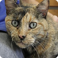 Domestic Shorthair Cat for adoption in Long Beach, California - Willow