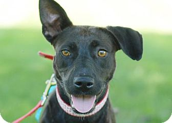 Labrador Retriever Mix Dog for adoption in Rockville, Maryland - Raven
