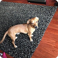 Dachshund Dog for adoption in Lima, Pennsylvania - Hansel