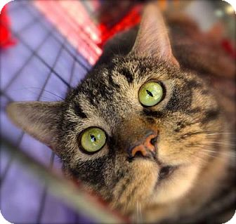 Domestic Shorthair Kitten for adoption in Baltimore, Maryland - Percival