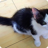 Adopt A Pet :: Cute as a Kitten!! - Ft Myers Beach, FL