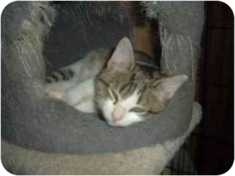 Domestic Shorthair Kitten for adoption in Bristol, Rhode Island - Puss n Boots