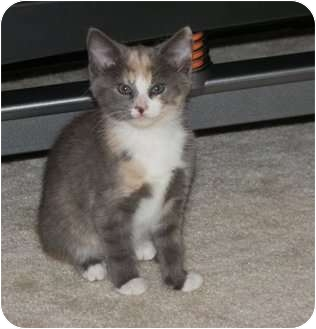 Domestic Shorthair Kitten for adoption in Barnegat, New Jersey - Baby Girl