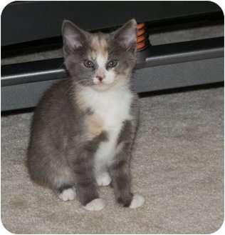 Domestic Shorthair Kitten for adoption in Barnegat, New Jersey - Baby Girl