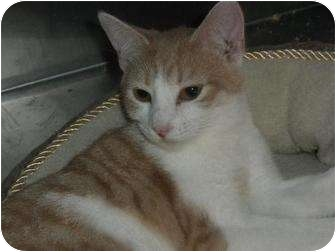 Domestic Shorthair Cat for adoption in Wenatchee, Washington - Peaches