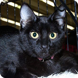 Domestic Shorthair Cat for adoption in Sacramento, California - Idae V