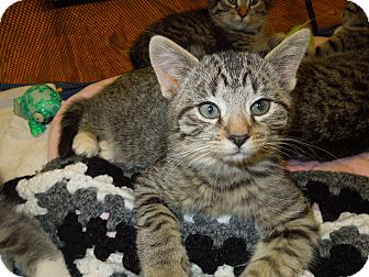 Domestic Shorthair Kitten for adoption in Medina, Ohio - Tiny