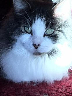 Maine Coon Cat for adoption in Absecon, New Jersey - JOJO