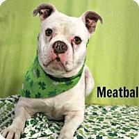 Adopt A Pet :: *MEATBALL - Sugar Land, TX