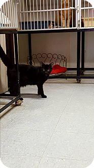 Domestic Shorthair Kitten for adoption in Indianola, Iowa - C5