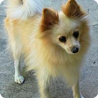 Adopt A Pet :: Lola-ADOPTION PENDING - Boulder, CO