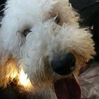 Adopt A Pet :: Daisy - Alpharetta, GA