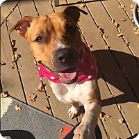 Adopt A Pet :: Daisy Doodle - Spring Valley, NY