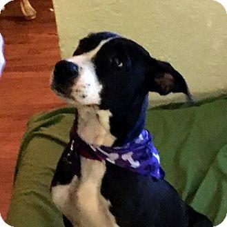 Terrier (Unknown Type, Medium) Mix Puppy for adoption in Detroit, Michigan - Sabrina