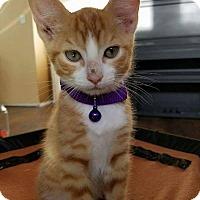 Adopt A Pet :: Hobbes - Rowlett, TX