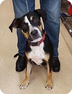 Labrador Retriever/American Bulldog Mix Dog for adoption in Homestead, Florida - Lady