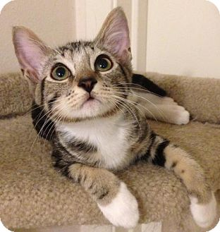 Domestic Shorthair Kitten for adoption in San Antonio, Texas - Tommy