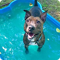 American Staffordshire Terrier Mix Dog for adoption in Chestertown, Maryland - Ross