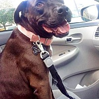 Pit Bull Terrier/Labrador Retriever Mix Dog for adoption in Royal Palm Beach, Florida - Zelda